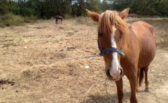 Atlarda Ensefaliti