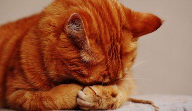 FIV – Kedi AIDS Hastalığı