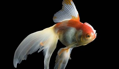 Japon Balığı Hastalıkları
