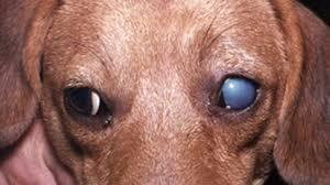 Köpek Hepatit Hastalığı