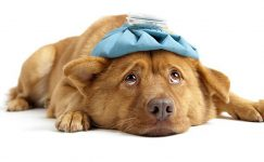 Köpek Nezlesi (Canine Parainfluenza)