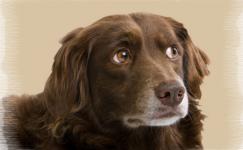 Köpeklerde Kalp Kurdu