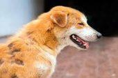 Köpeklerde Uyuz Hastalığı ve Tedavisi