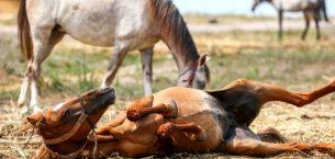Atlarda Ruam Hastalığı