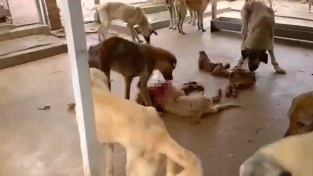 Kozan Hayvan Barınağından Vicdanları Sızlatan Görüntüler: Köpekler Açlıktan Birbirlerini Yiyiyorlar