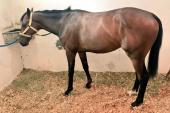 Atlarda Eklem Bozukluğu