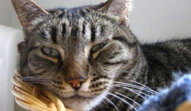 Kedilerde Fip Hastalığı