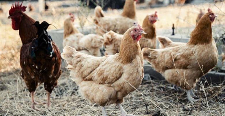 Adana Veteriner Hekimler Odası: Tavuk yiyin, mutlu olun